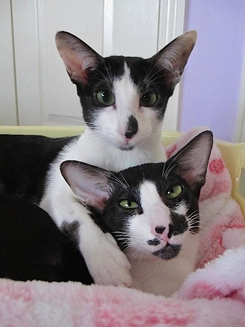Bicolor American Shorthair Cat