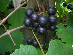 Muscadine #grapes - h5442