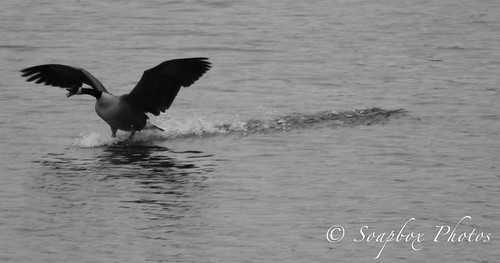 """""""Canada Goose lands on the Delaware River at Tacony Palmyra Nature Cove"""""""