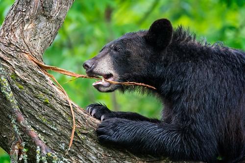 Black Bear at Play