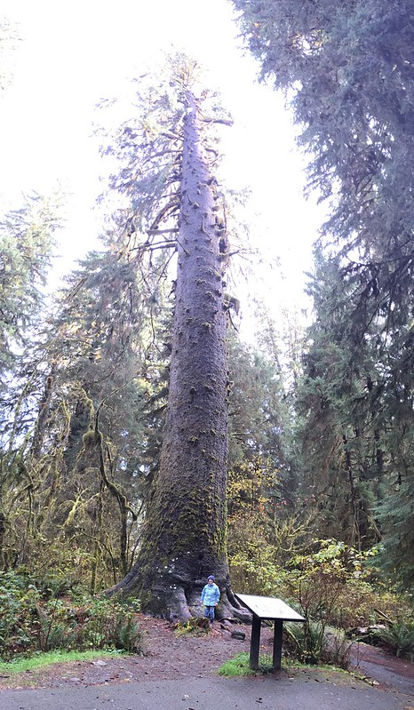 World's Largest Sitka Spruce
