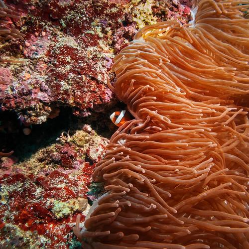 canon travels underwater scuba anemone scubadiving anemonefish 2014 s100 adara atauroisland timorleste canons100 underwaterhousing jasonbruth fixs100 fixs100housing timorlorasae divesitefrankscrack