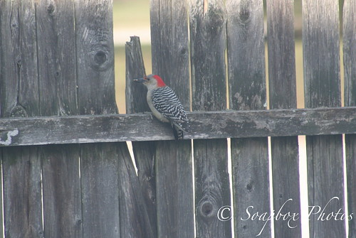 """Female Red-bellied Woodpecker"""