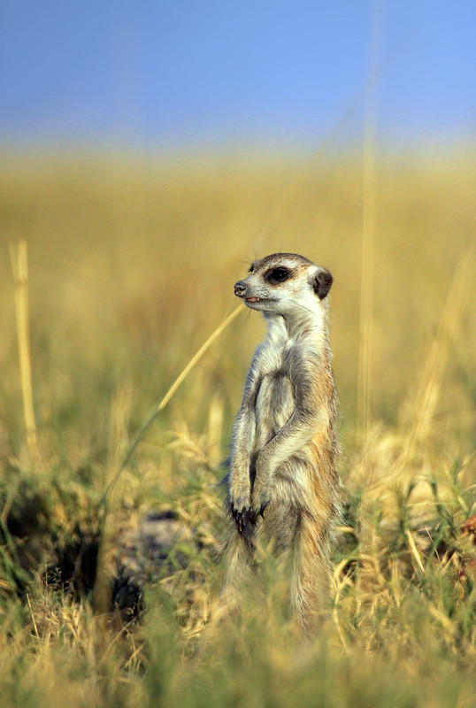 Show us your meerkats...