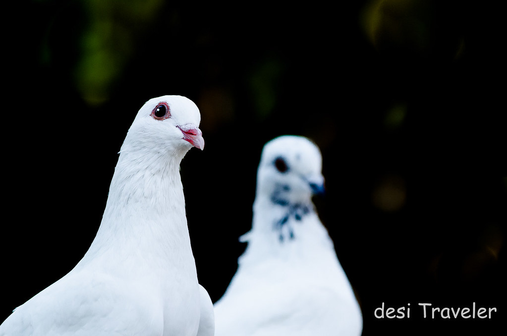 White domestic rock pigeons