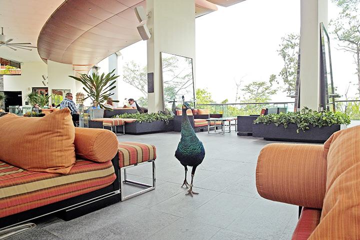 capella peacock