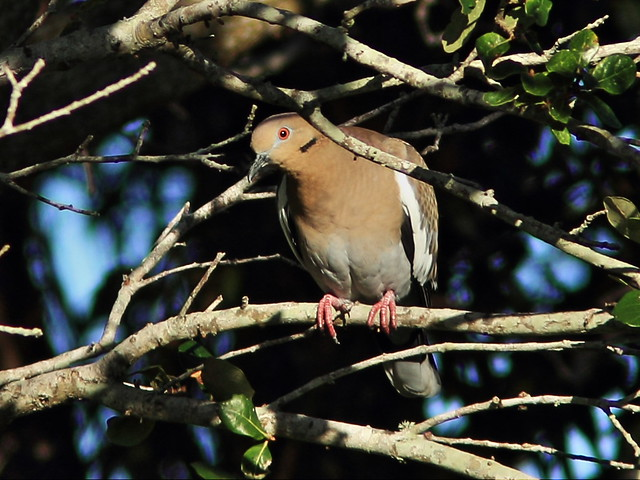 White-winged Dove 2-20141210