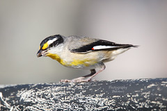 Striated Pardalote with Insects