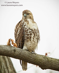Red-tailed Hawk on Branch