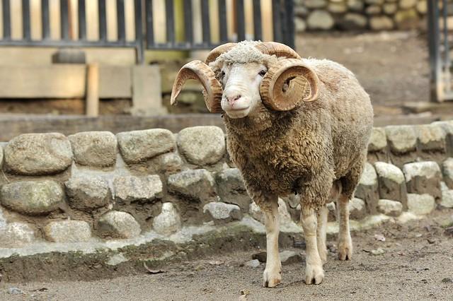 アモン角のヒツジ(牡羊)「ルーク」 photo_by_tsukunemum