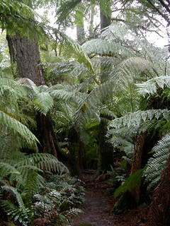 081 Dicksonia antarctica in myrtle beech (Nothofagus cunninghamii), Myrtle forest, Weldborough, Tasmania