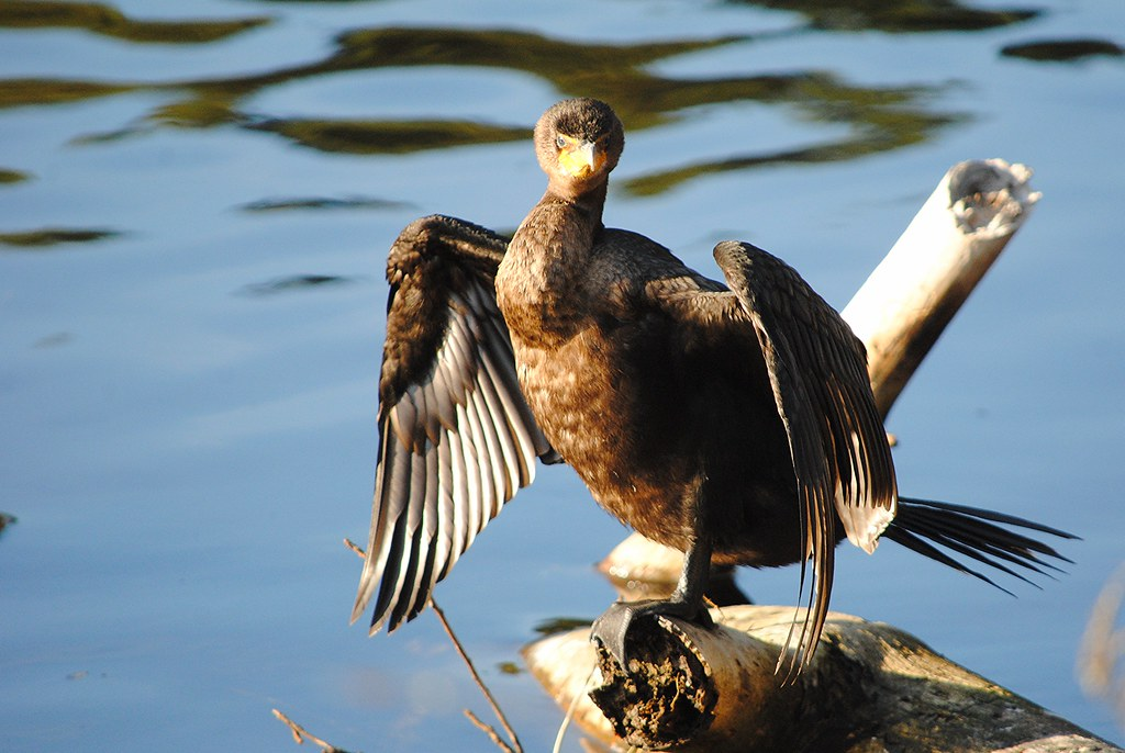 Double-crested cormorant (Ушастый баклан)