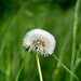 Dandelion by gabriellelittler
