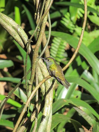 Le Parc des Oiseaux d'Iguaçu: un colibri