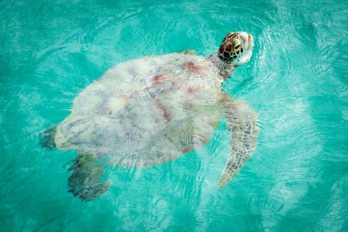 turtle cocosisland greenturtle
