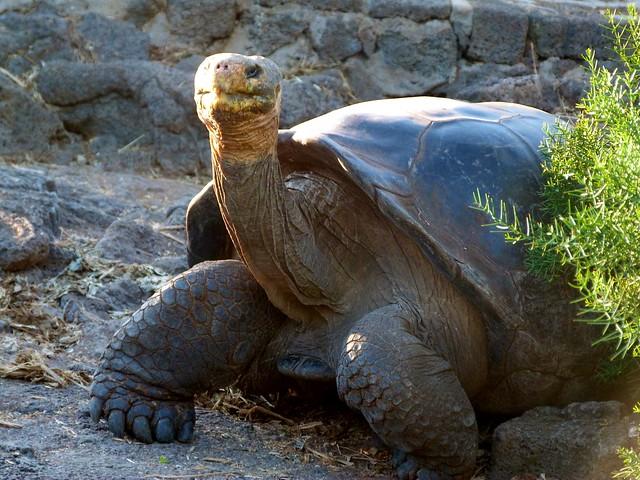 Tortuga gigante de Galápagos (Santa Cruz)