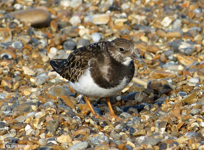 P1100225 - Turnstone, Salthouse
