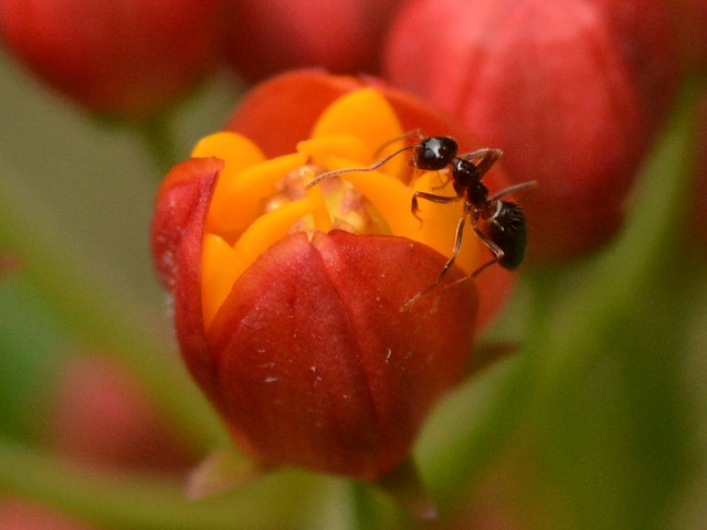 Ant on Butterfly Weed (Asclepias tuberosa, Asclepiadaceae) milkweed