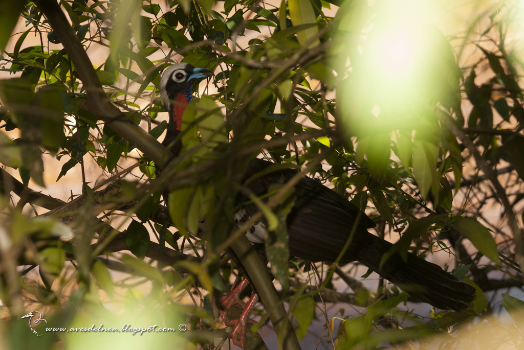 Yacutinga (Black-fronted Piping-Guan) Pipile jacutinga