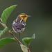 Blackburnian Warbler in South America