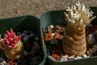 Crassula barklyi blooming