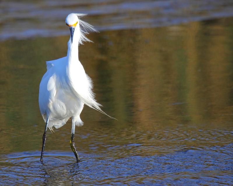 IMG_7158 Snowy Egret