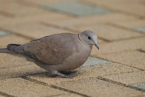 紅鳩是鳥店販賣大宗,也是農藥的犧牲者。(攝影:馮文)