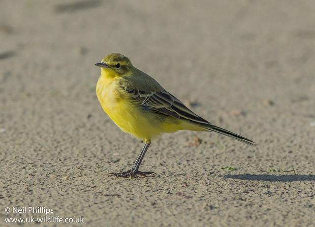 yellow wagtail 3-2