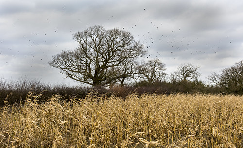 uk england corn northamptonshire crows oaktree northants carrioncrow corvuscorone mielies wamington pwlandscape