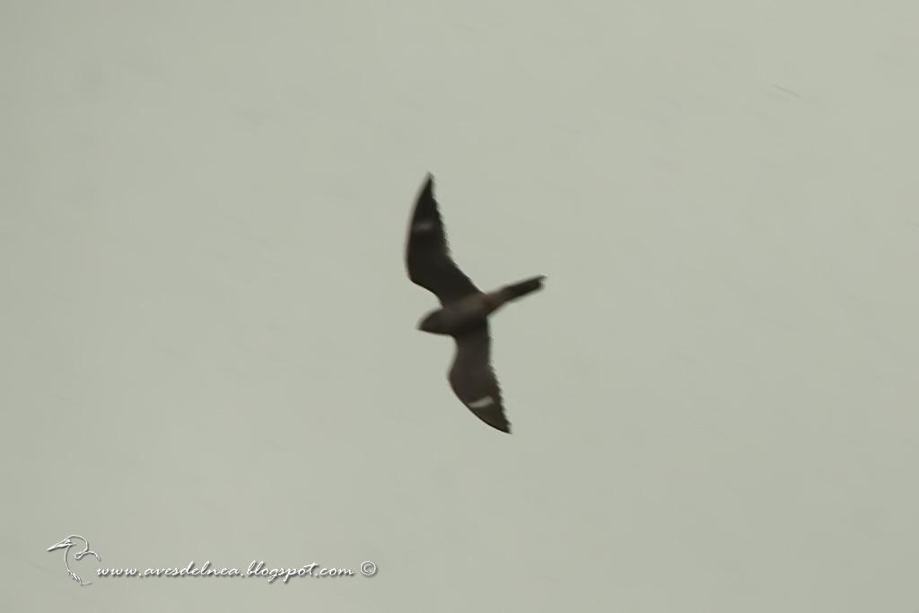 Añapero boreal (Common Nighthawk) Chordeiles minor