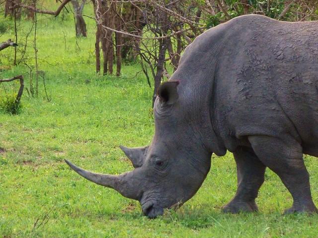 Rinoceronte en el Parque Kruger (Sudáfrica)