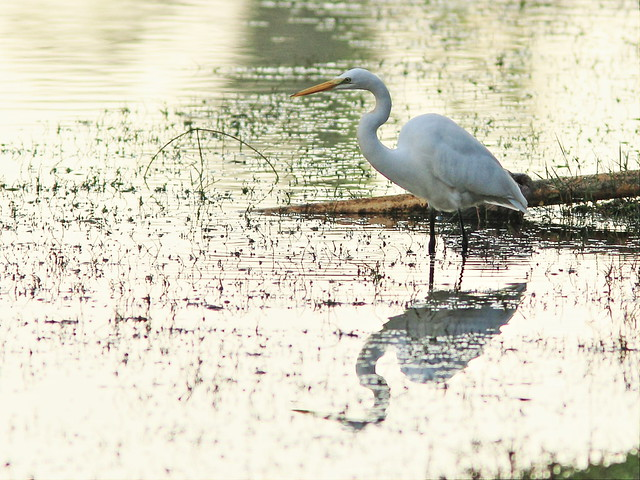 Great Egret 20141229