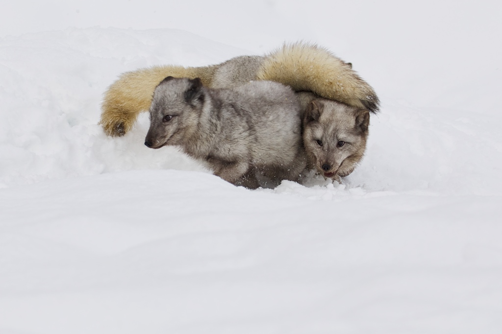 Arctic Fox 67