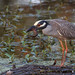 Another Photo Of Yellow-crowned Night Heron with a Crayfish by Steve Creek
