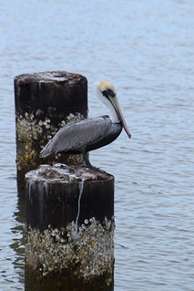 Obligatory Pelican-on-a-piling shot