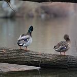Mallards of Central Park
