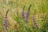 Purple Mountain Lupine in Field TWBF DSC_9951