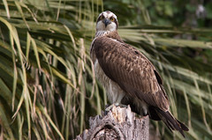 Osprey.  (Pandion haliaetus)