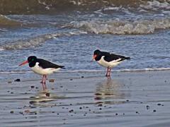 animal, charadriiformes, sea, fauna, oystercatcher, shorebird, bird, seabird, wildlife,