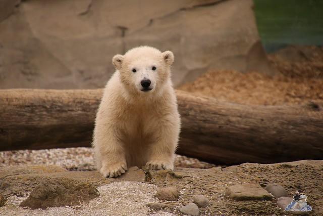 Eisbär Lilli im Zoo Bremerhaven 30.04.2016 Teil 2  19