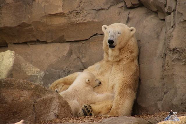 Eisbär Lilli im Zoo Bremerhaven 30.04.2016 Teil 2  134