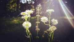 Too pretty to mow down. Fleabane Daisy (erigeron annuus) on a glorious early Summer evening.