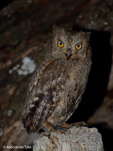 Eurasian Scops Owl