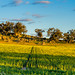 Small photo of Canola field - Explored