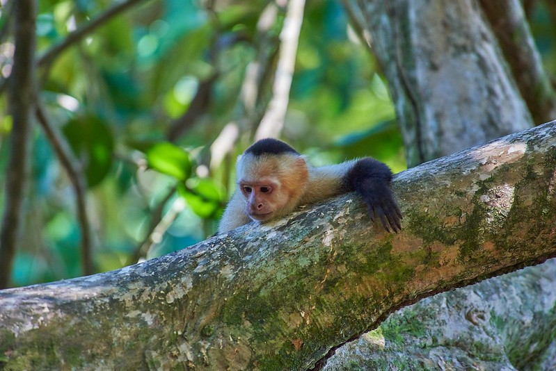 Capuchin monkey- Manuel Antonio National Park