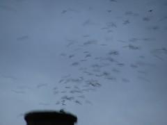 Vaux's Swifts at Chapman