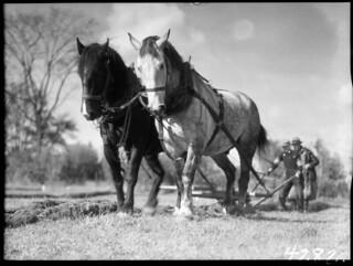 A team of handsome horses at the Central Experimental Farm ploughing match, Ottawa / Un duo de superbes chevaux lors d'un concours de labour à la Ferme expérimentale centrale d'Ottawa