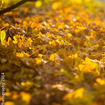Autumn Coloured Leaves-9981-2