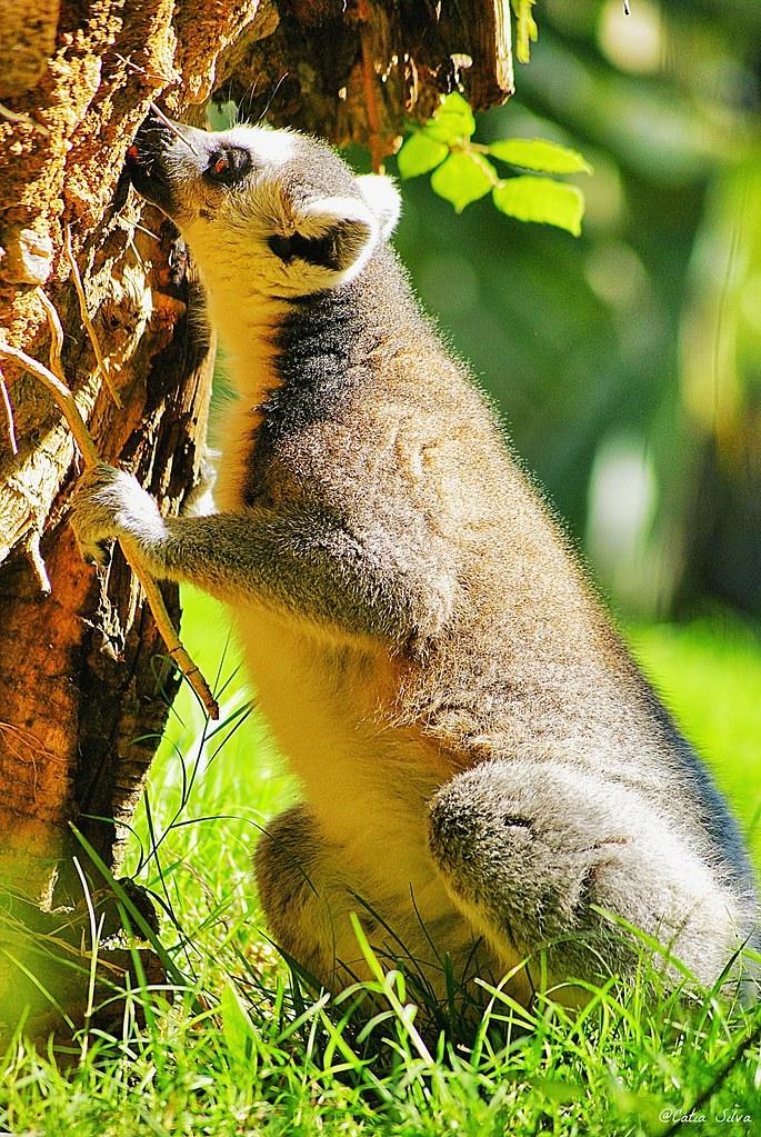 Bioparc Valencia_Madagascar (1.3) Lemur de cola anillada