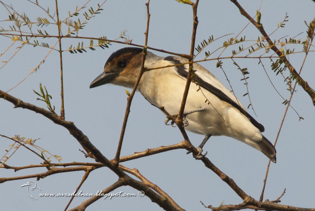 Tueré chico (Black-crowned Tityra) Tityra inquisitor ♀